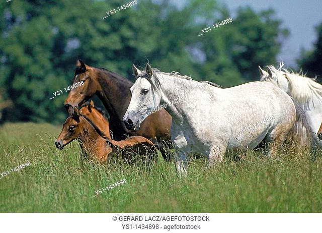 LUSITANO HORSE, MARES WITH FOALS STANDING IN LONG GRASS