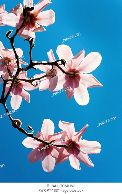 Magnolia, Campbell's Magnolia, Magnolia campbellii, Underneath view of several flowers on bare twigs, backlit by sun, against deep blue sky