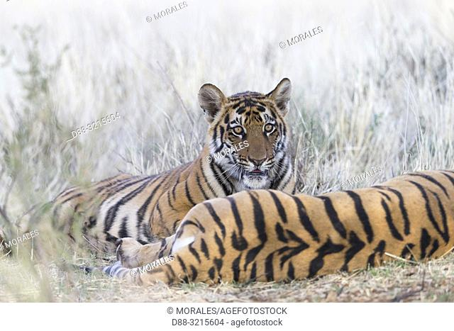 South Africa, Private reserve, Asian (Bengal) Tiger (Panthera tigris tigris), mother and young 6 months old, resting
