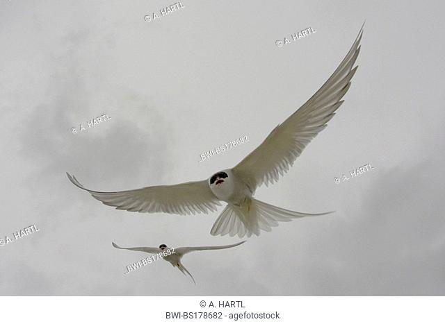 arctic tern (Sterna paradisaea), flight attack, Norway, Knuthso Landschaftsschutzgebiet, Opdal