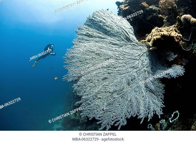 Diver with sea fan in front of Menjangan, Bali, Indonesia, Asia