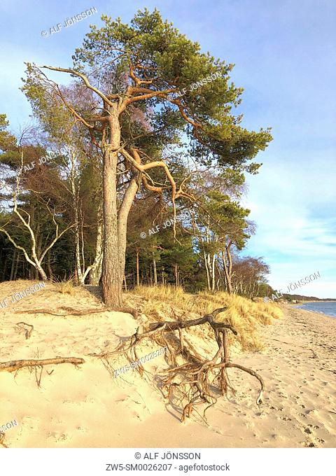 Aerial roots on the beach in Ystad, Sweden, Scandinavia
