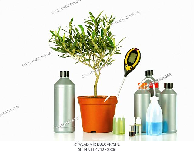 Olive tree in a pot with various bottles and a moisture reader