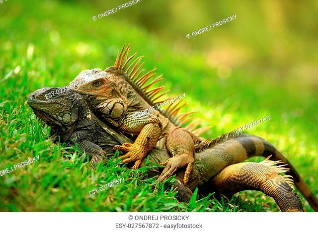 orange iguana, Ctenosaura similis