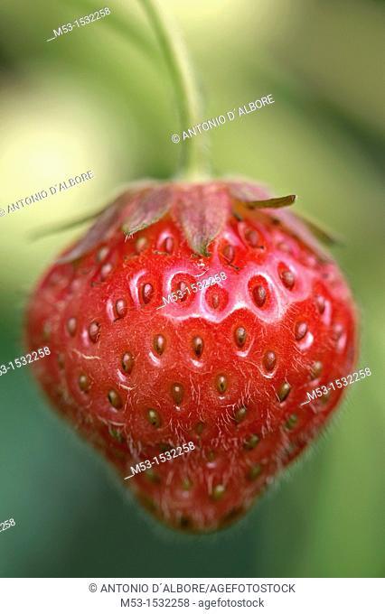 Ripe strawberry Fragaria Ananassa