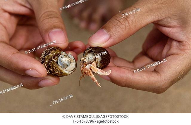 closeup of a hermit crab Pagurus bernhardus, Eupagurus bernhardus on the beach in Unawatuna, Sri Lanka