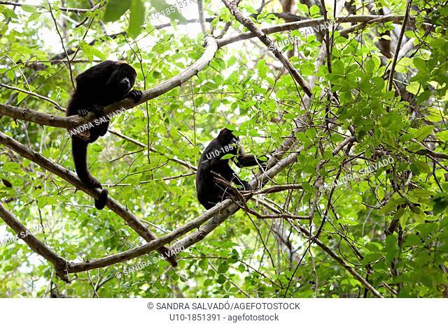 Black Howler Monkey Alouatta caraya, Reserve Biosphere Calakmul, Mexico