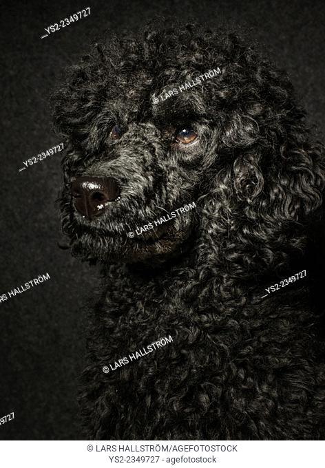 Portrait of black poodle looking away