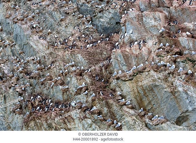 Spitsbergen, Bellsund, thick-billed murre, uria lomvia, Kittiwake, rissa tridactyla