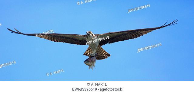 osprey, fish hawk (Pandion haliaetus), flying with caught Tilapia, USA, Florida, Kissimmee