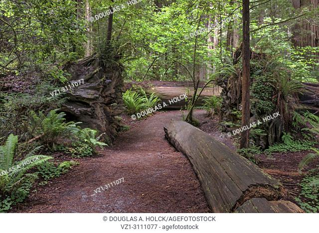 Four fallen giant Sequoia sempervirens redwoods lay in close proximity in the Stout Memorial Grove of Jedediah Smith Redwoods State Park, Northern California