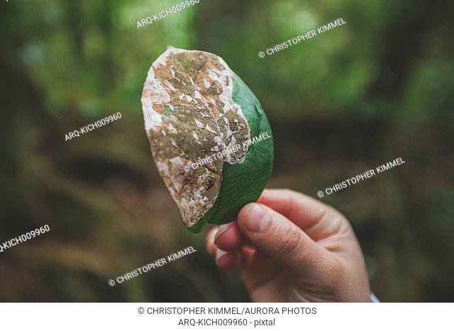 A Woman Holding A Half Decayed Leaf While Hiking In Pacific Rim National Park