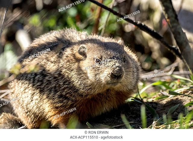 Groundhog or Woodchuck (Marmota monax), Barrie Island, Manitoulin Island, Ontario, Canada