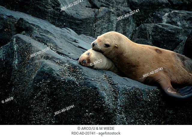 Steller's Sea Lions females Aleutian Islands Alaska USA Eumetopias jubatus