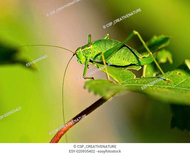 Female of a speckled bush-cricket (Leptophyes punctatissima) walking a leaf