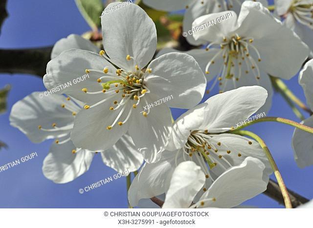 cherry blossoms, Eure-et-Loir department, Centre-Val de Loire region, France, Europe