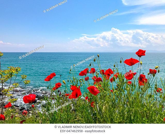 Red Poppies Flowering In Pomorie, Bulgaria