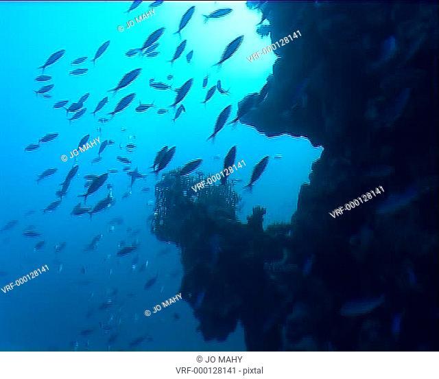 Fusilier fish in blue. Bahamas, Atlantic Ocean