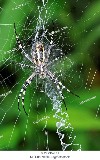 Spider belonging to the species Argiope bruennichi