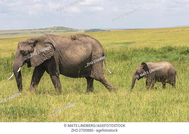 Elephant with calf walking with the calf behind in high grass on the savanna, Masai Mara, Kenya, Africa