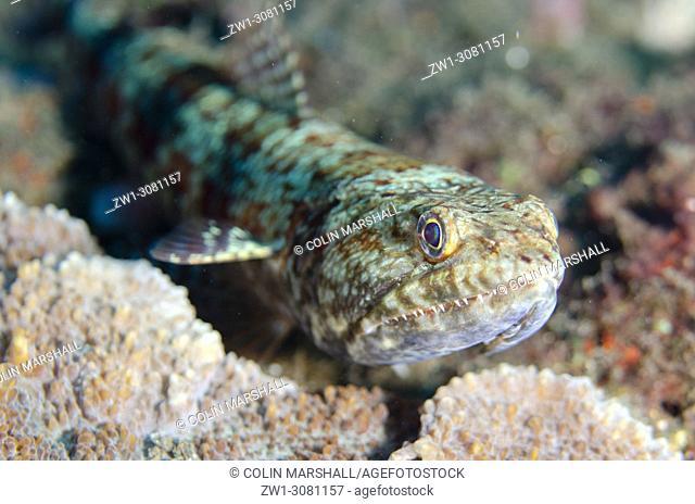 Reef Lizardfish (Synodus variegatus, Synodontidae family) on black sand, USAT (US Army Transport) Liberty wreck dive site, Tulamben, east Bali, Indonesia
