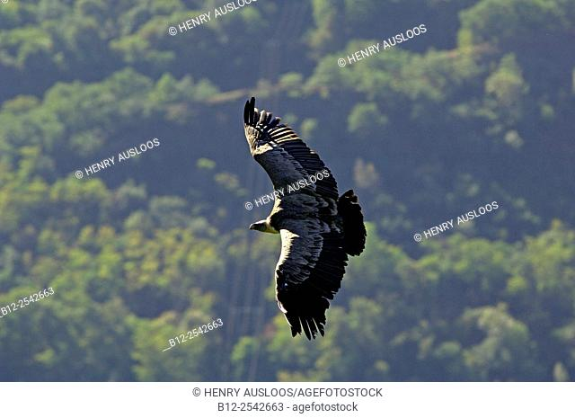 Griffon Vulture Gyps fulvus Flight, Pyrenees, France