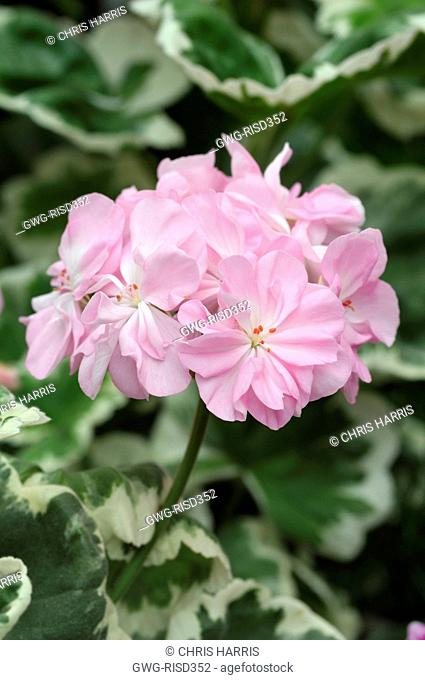 PELARGONIUM 'CHELSEA GEM' AGM