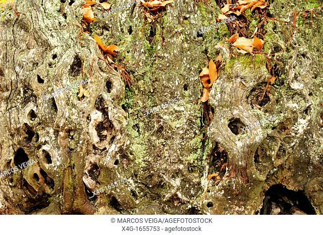 Sweet chestnut tree trunk Castanea sativa