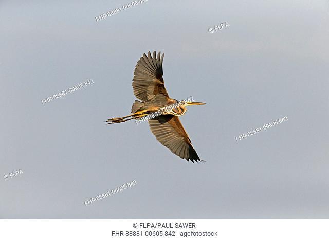 Purple Heron (Ardea purpurea) adult, flying, Danube Delta, Romania, June