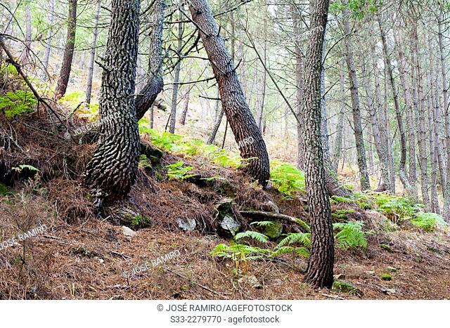 Pines in Iruelas Valley. Sierra de Gredos. Avila. Castilla Leon. Spain. Europe