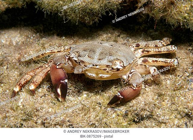 Marbled Rock Crab (Pachygrapsus marmoratus), Black Sea, Crimea, Russia