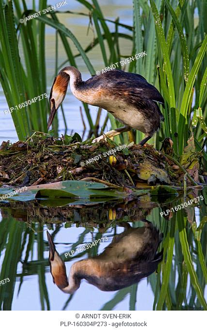 Great crested grebe (Podiceps cristatus) sitting on nest among aquatic plants in lake