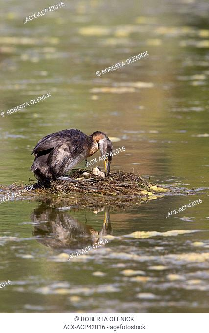 Red-necked grebe Podiceps grisegena, turning eggs in nest, Logan Lake, British Columbia, Canada