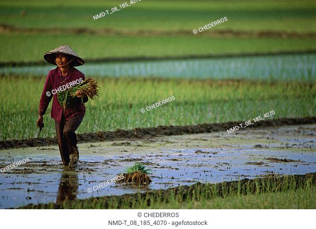 Mid adult woman holding rice seedlings and walking in a field, Vietnam