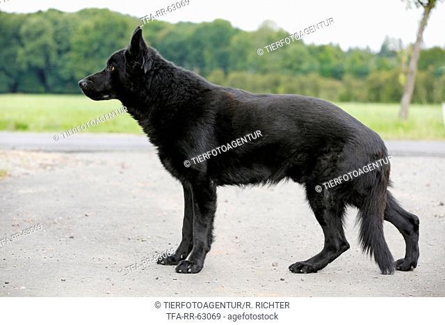 standing German Shepherd