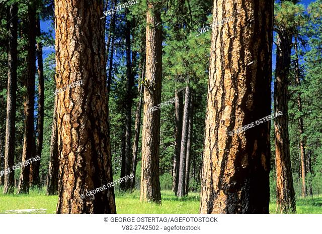Ponderosa pine, Imnaha Wild & Scenic River, Hells Canyon National Recreation Area, Oregon