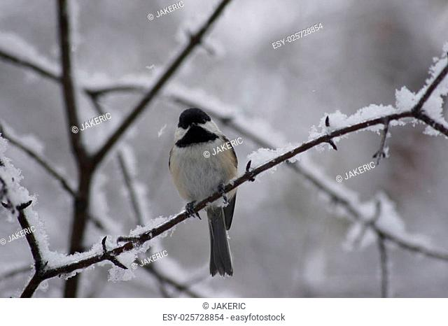 Black capped chickadee resting on a snowy ice covered branch