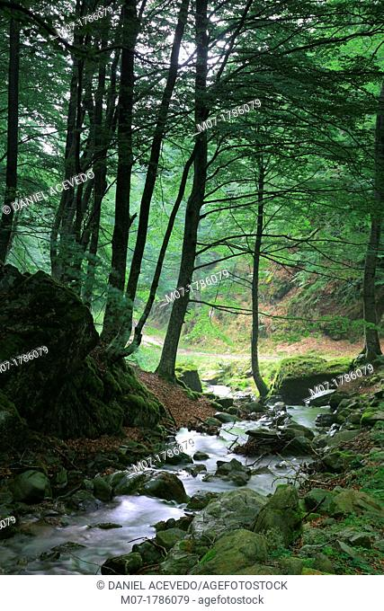 Misty Beech forest, Iberico mountain range, Rioja wine region, La Rioja, Spain, Europe
