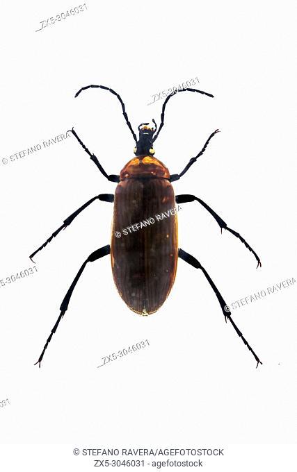 Darkling Beetle in resin