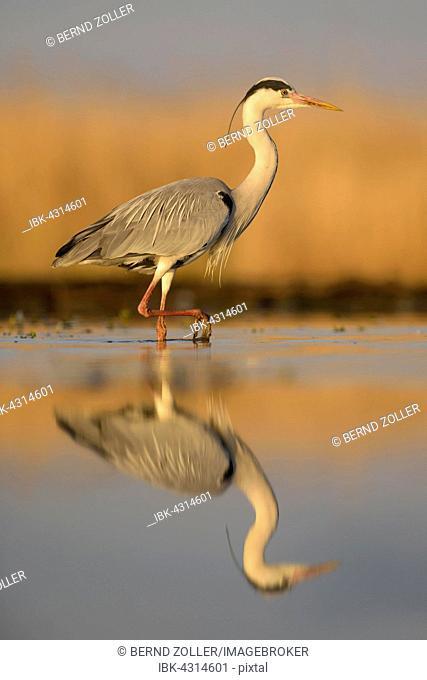 Grey heron (Ardea cinerea), adult walking, reflection, morning light, Kiskunság National Park, Hungary