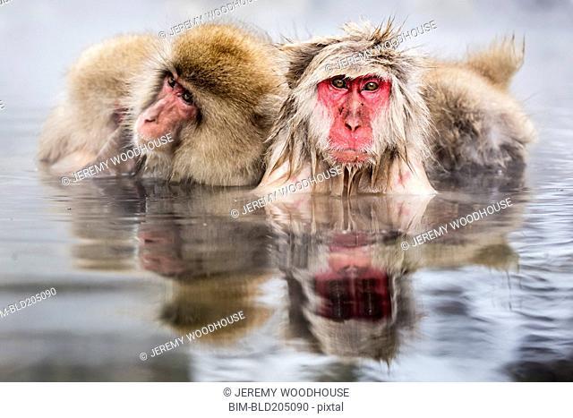 Snow monkeys bathing in hot spring