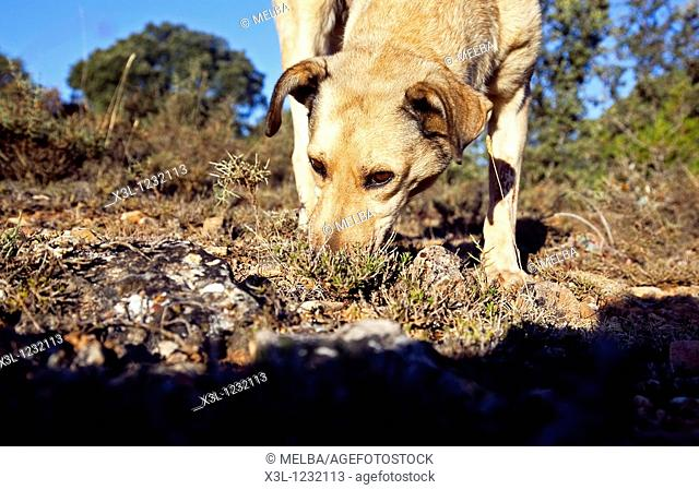 The truffle hound has sniffed out a truffle  Tiermes, Soria  Castile-Leon  Spain