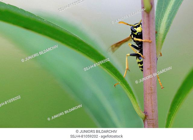 Potter Wasp ( Eumens Pomiformes) looking around a plant stem