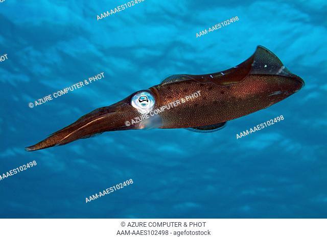 Reef Squid (Sepioteuthis sepioidea) Bonaire N.A
