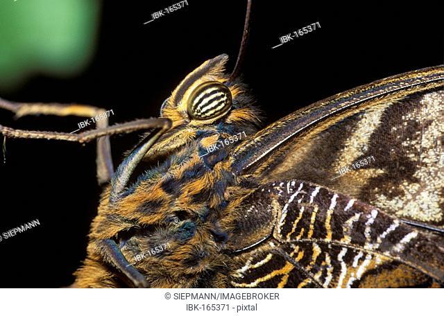 Giant-owl, Gold-edged Owl-Butterfly (Caligo uranus), Chiapas, Mexico