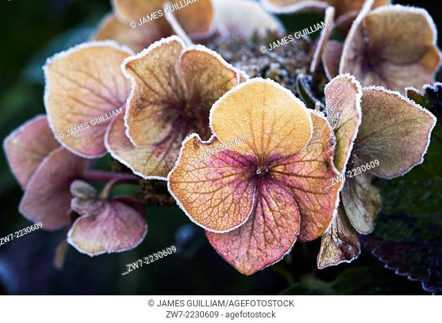 Hydrangea flower head with frost