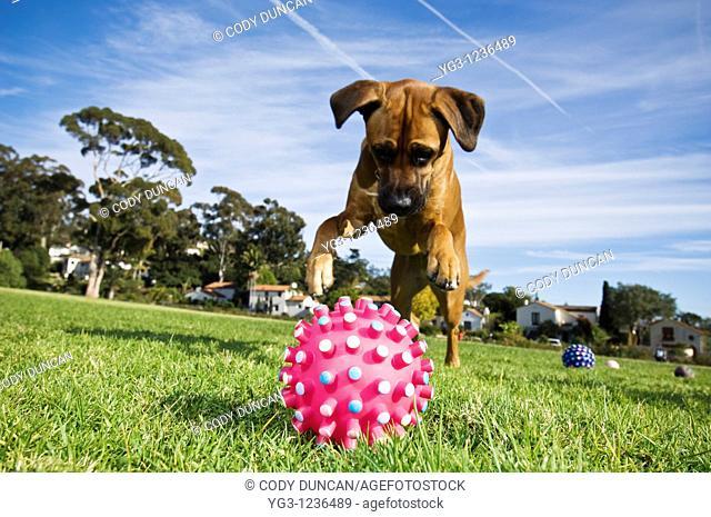 Dog pounces on toy
