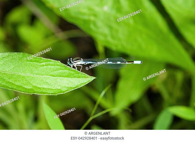 Blue Damselfly Coenagrionidae on leaf macro, selective focus, shallow DOF
