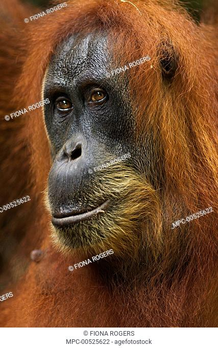 Sumatran Orangutan (Pongo abelii) twenty-eight year old female, named Pesec, Gunung Leuser National Park, Sumatra, Indonesia