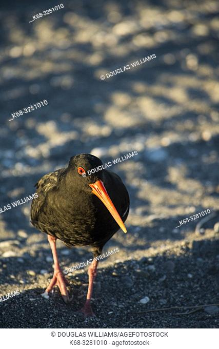 oystercatcher on a beach in New Zealand
